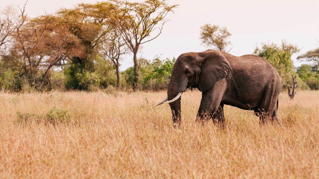 Elefante en el área de conservación Grumeti en Tanzania
