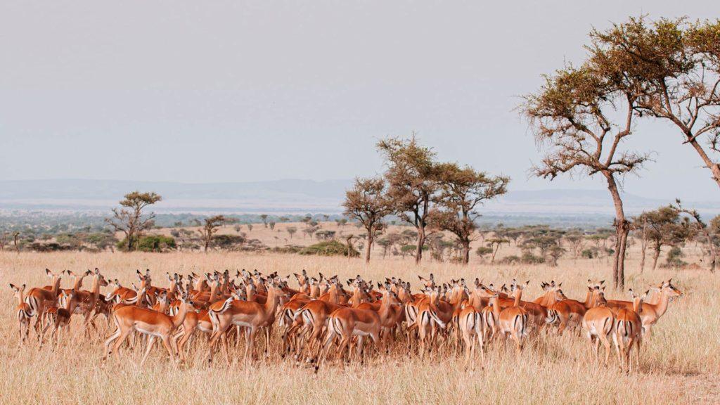 Impalas en la Sabana Africana en Tanzania